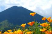 poppy1.jpgのサムネイル画像